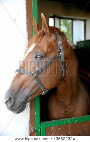 Gidran Breed  Horse Head Profile Portrait With An Alert Expression