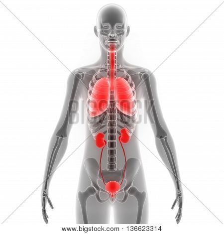 3D Illustration of Human Body Organs (Lungs with Kidneys)
