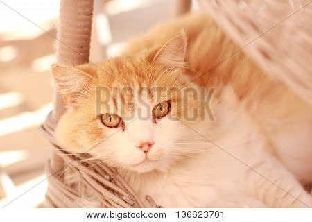 Long-haired cat lying on a basket, red