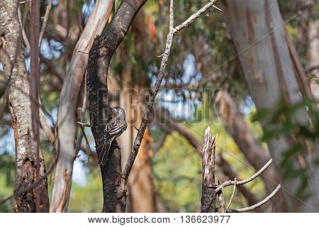 Selective focus of Red Wattle Bird, honeyeater, perching on tree at Flinders Chase National Park on Kangaroo Island, South Australia. (Anthochaera carunculata)