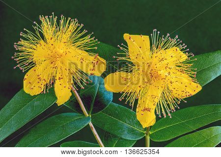 Close up view of St Johns Wort, a yellow flower with a green background