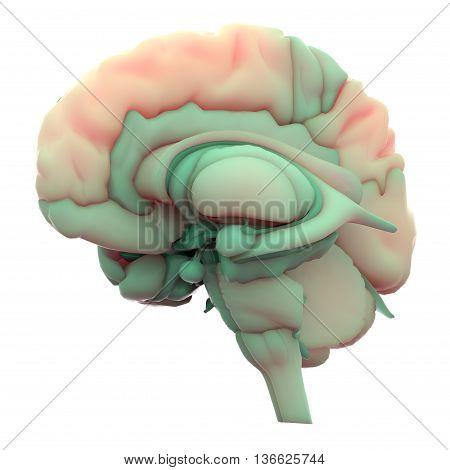 3D Illustration of Human Brain Inside Anatomy
