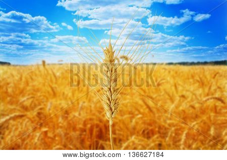 wheat ear against beautiful sky with clouds. Close-up of wheat ear in field