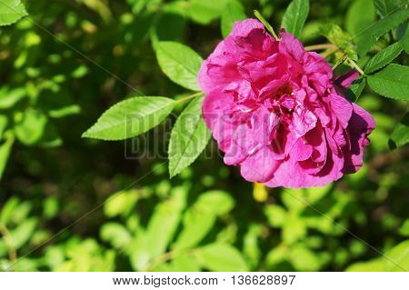 Flower wild rose growing in the spring