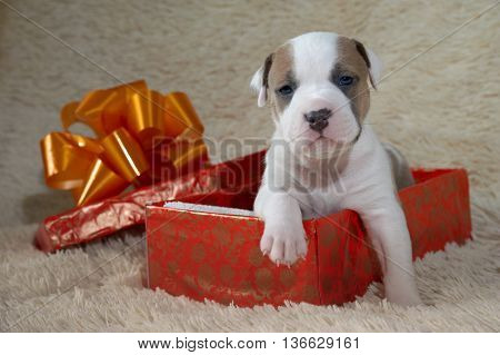Little puppy American staffordshire terrier in a gift box