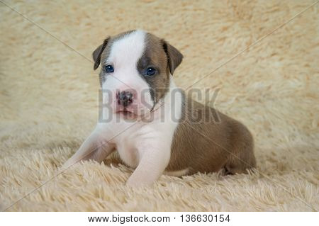 adorable white and brown american staffordshire terrier puppy
