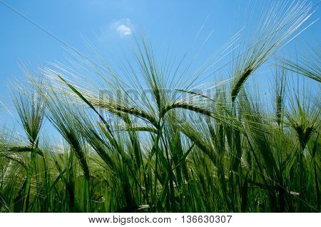 Barley. Angiosperm plant. Grain used for feed and the production of beer and malt.