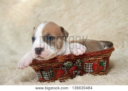 brown and white puppy of the American Staffordshire terrier in a basket