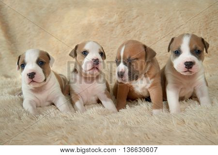 four adorable beautiful staffordshire terrier puppies sitting on a rug