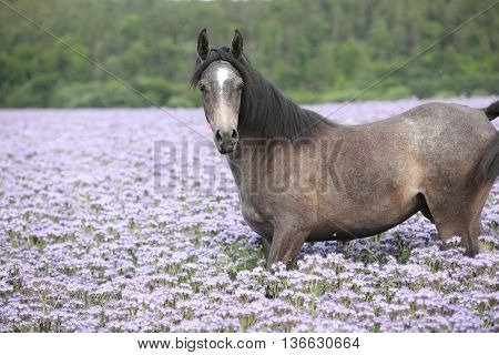 Nice Arabian Horse Standing In Fiddleneck Field
