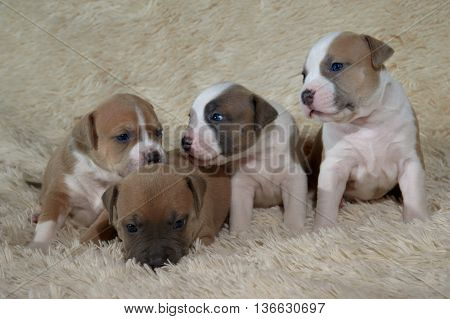 four beautiful, adorable staffordshire terrier puppies playing