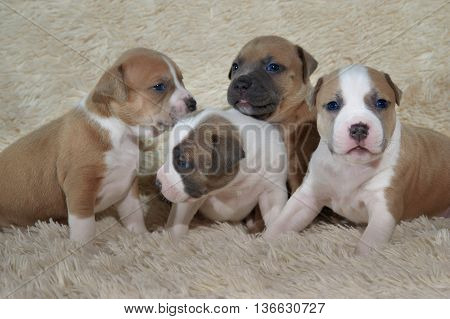 group of small American staffordshire terrier puppies playing