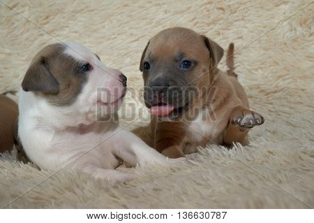 Two american staffordshire terrier puppies sitting on the cover