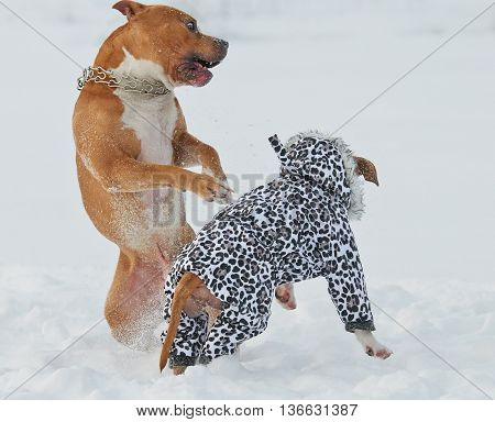 Two american staffordshire terrier dogs having fun in snow