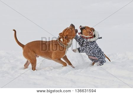 Two funny american staffordshire terrier dogs play