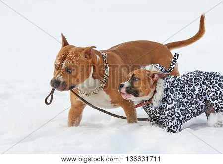 two fun american staffordshire terrier dogs running in winter nature