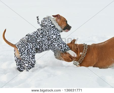 two american staffordshire terrier dogs playing on a snow-covered field