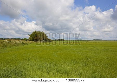 Barley Field With Copse