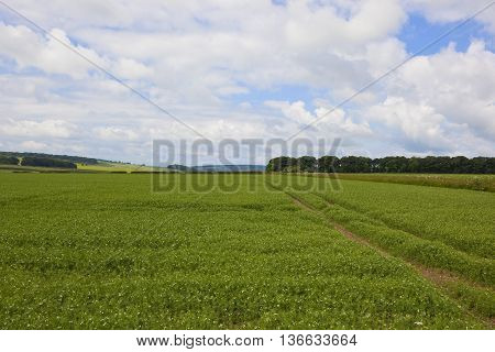 Picturesque Pea Field