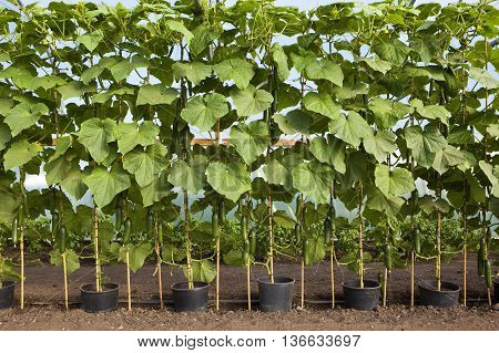 a row of pots of organic cucumbers growing up canes in a poly tunnel in summer