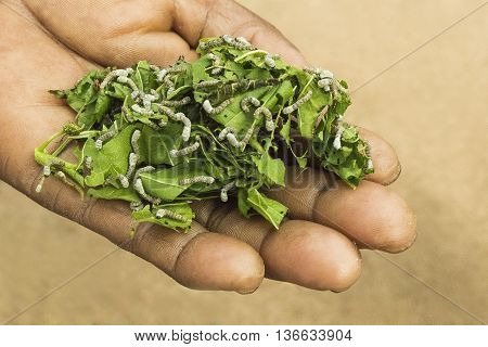 Caterpillars of Silkworm eating green leaves. Life cycle Instar Larva. South Africa.