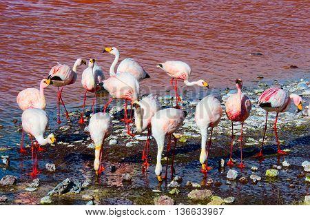 Flamingoes in Laguna Colorada in  Uyuni Bolivia