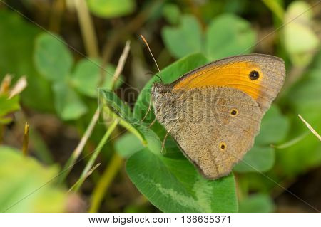 Meadow brown (Maniola jurtina) butterfly having rest on a leaf in shadows of summer herbs