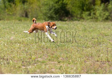 Basenji Running Across The Field