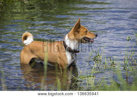 Basenji Dog Standing In Water