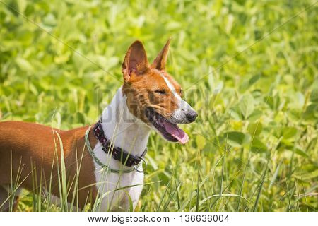 Basenji Dog On The Soybean Field.