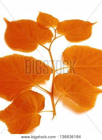 Autumnal Sprig Of Linden