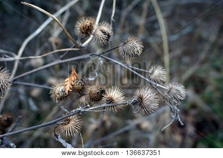 Burrs of a greater burdock plant (Arctium lappa) are ready to attach themselves to the clothing, hair or fur of anyone passing by in Harbor Springs, Michigan.