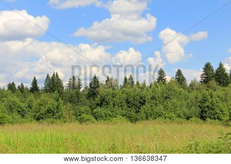 Coniferous forest against the blue sky