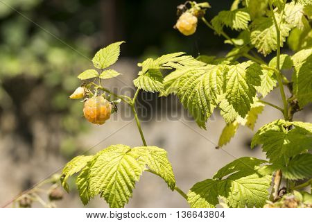 Close-up Of White Raspberries On The Plant