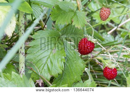 Close-up Of Wild Strawberries On The Plant