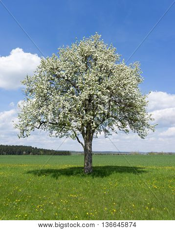 Blooming pear tree on a meadow in rural landscape
