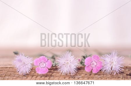 Soft background with wild Dianthus. Blurred for background