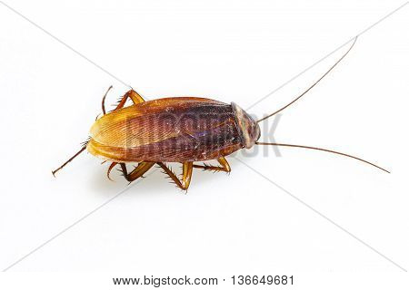 Isolated Dead Cockroach On White