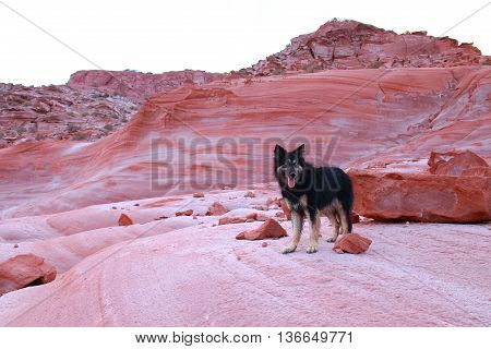 Black shepherd dog on the red lime stones