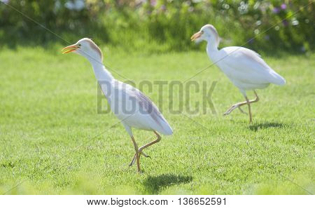 Pair Of Cattle Egret Walking In A Rural Garden