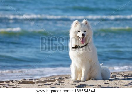 White Samoyed dog sitting and smiling near the sea