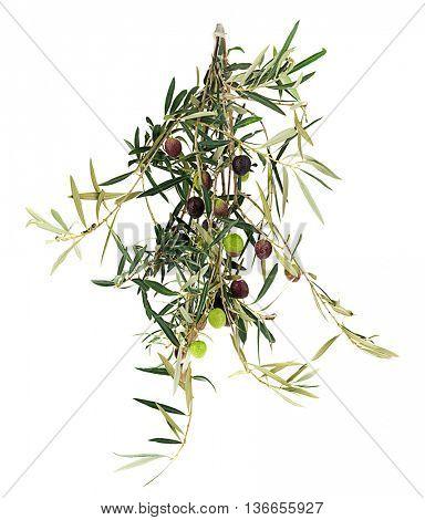 Olive's Branch