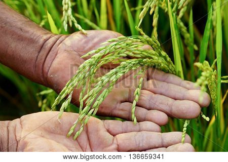 old hand tenderly touching a young rice in the paddy field