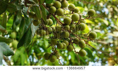 Bunch of green Longan fruits hanging on tree