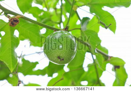 Green passion fruit on the tree in asia