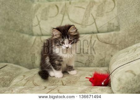 Little kitten sitting on a chair. Pet.