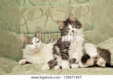 Mum cat and kitten sitting on a chair. Pet.