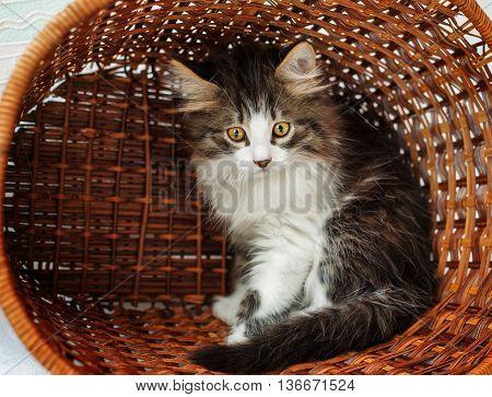 A cute little kitten hiding in a basket. Pet.