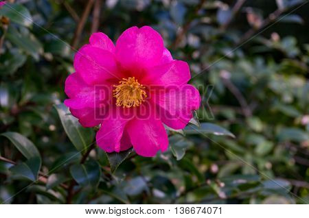 Bright camellia flower in full bloom against green foliage background. Pink violet Japanese Camellia flower surrounded with glossy green leaves. Close up selective focus space for text