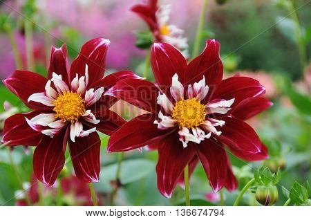 many dahlias in a park at the lake constance